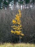 秋天在灌木丛林背景的森林桦树  库存图片