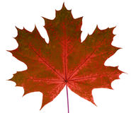 秋天在白色背景的叶子槭树隔绝与裁减路线 自然 库存图片