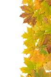 秋天在白色背景的槭树叶子 库存图片