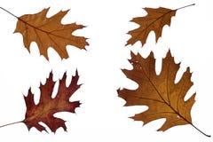 秋天在白色背景的橡木叶子 库存图片