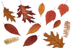 秋天在白色背景的橡木叶子 免版税库存图片