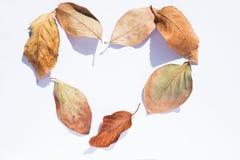 秋天在白色背景离开以心脏的形式 秋天设计元素 免版税库存照片