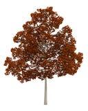 秋天在白色隔绝的挪威枫树树 库存图片