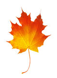 秋天在白色隔绝的枫叶 图库摄影