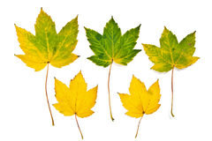 秋天在空白背景查出的槭树叶子 剪报 库存照片