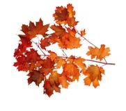 秋天在空白背景查出的槭树叶子 免版税库存图片