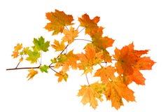 秋天在空白背景查出的槭树叶子 库存图片