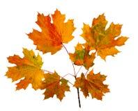 秋天在空白背景查出的槭树叶子 免版税库存照片