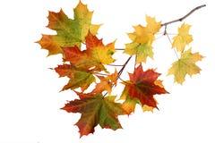 秋天在空白背景查出的槭树叶子 图库摄影