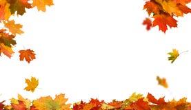 秋天在空白背景查出的槭树叶子 库存照片