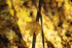 秋天在空的树枝的枫叶反对黄色森林背景 季节,怀乡心情概念 免版税图库摄影