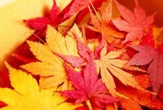 秋天在箱子的槭树叶子 免版税库存图片