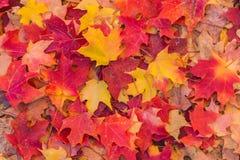 秋天在红色和金子的槭树叶子 库存照片