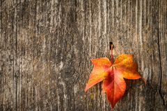 秋天在老木背景的枫叶 免版税图库摄影