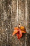秋天在老木背景的枫叶 免版税库存照片