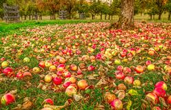 秋天在苹果庭院里 库存照片