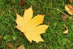 秋天在草的枫叶 免版税库存照片