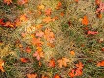 秋天在草的桔子叶子 免版税库存图片
