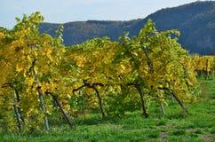 秋天在葡萄园里,下奥地利州 免版税库存图片