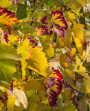 秋天在葡萄园1里 免版税库存图片