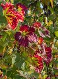 秋天在葡萄园2里 免版税库存图片