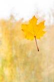 秋天在玻璃的枫叶用水滴下 库存照片