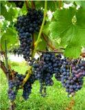 秋天墨尔乐红葡萄酒葡萄园酒 免版税库存图片