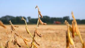 秋天大豆领域,大豆准备好收获 股票视频