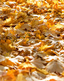 秋天太阳光点燃的下落的叶子 图库摄影