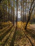 秋天太阳在森林里通过染黄的树 免版税图库摄影