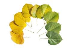 秋天季节在白色上色了槭树叶子转折被隔绝 库存图片
