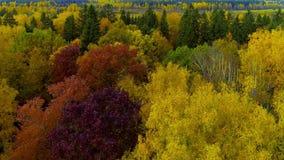 秋天季节明亮的橙黄色红颜色空气视图直升机寄生虫的森林 股票录像