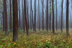 秋天季节的有薄雾的不尽的森林 库存图片