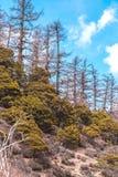秋天季节的,亚丁国家级储备杉木森林 JPG 免版税库存图片