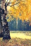 秋天季节,叶子树在森林背景中 免版税库存图片