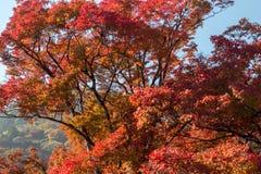秋天季节11月中旬在日本 库存照片