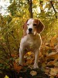 秋天小猎犬森林身分 库存图片