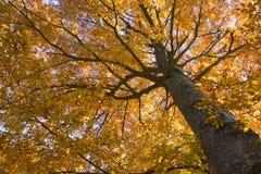 秋天山毛榉上色结构树 免版税库存图片