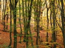 秋天山毛榉五颜六色的森林 免版税库存图片