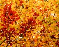 秋天山毛榉树彩色照相  免版税库存照片