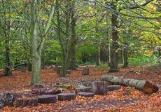秋天山毛榉的木材 图库摄影