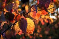 秋天山茱萸 库存照片