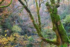 秋天峡谷的Anisclo,韦斯卡省,西班牙森林 图库摄影