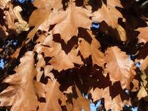 秋天布朗叶子在11月下旬 库存照片