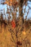 秋天干燥杂草 免版税库存图片