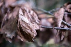 秋天干燥槭树叶子纹理  免版税库存图片