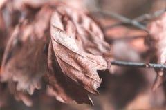 秋天干燥槭树叶子纹理  免版税库存照片
