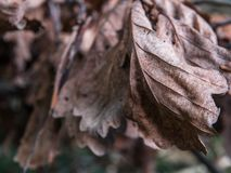 秋天干燥槭树叶子纹理  免版税图库摄影