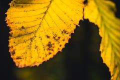 秋天干燥黄色叶子关闭有黑暗的背景 库存照片