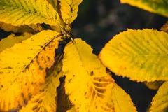 秋天干燥黄色叶子关闭有黑暗的背景 免版税库存图片